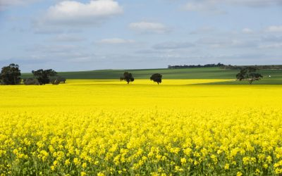 26 – Don't think twice – it's all right  – Australia's canola exports