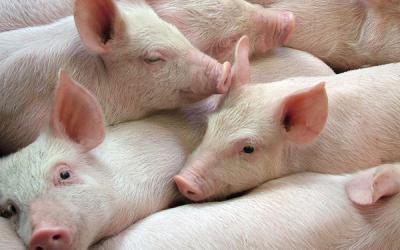 Webinar: Australian barley for pigs in Viet Nam
